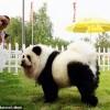 Собака Панда( о том как можно причесать песика)