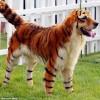 Собаки Тигры ( о том как причесать песика)