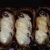 Вареные осы