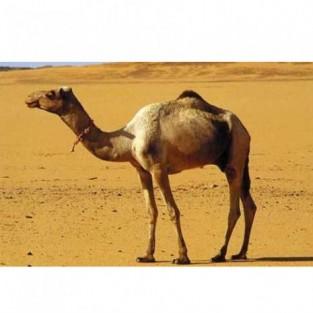 Искусство стрижки верблюдов