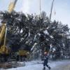 Главная новогодняя ель России срублена в Подмоско